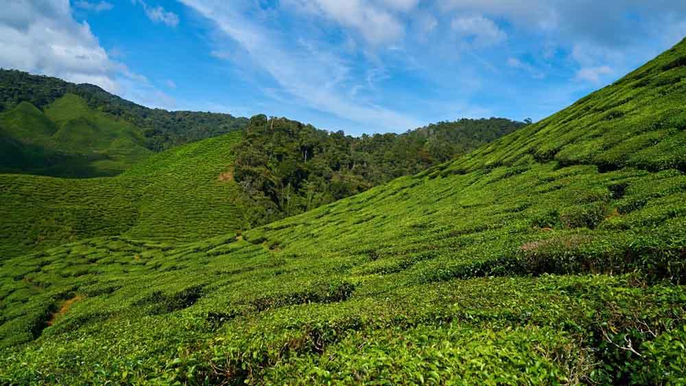 чайные плантации хоста